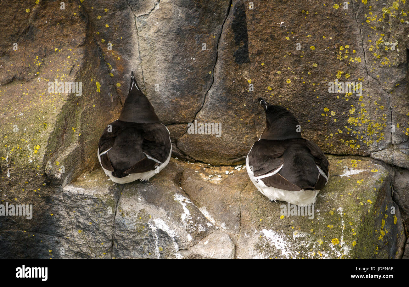 Close up of two razorbills, Alca torda, nesting on cliff ledge protective of eggs or chick, Isle of May in Firth Stock Photo