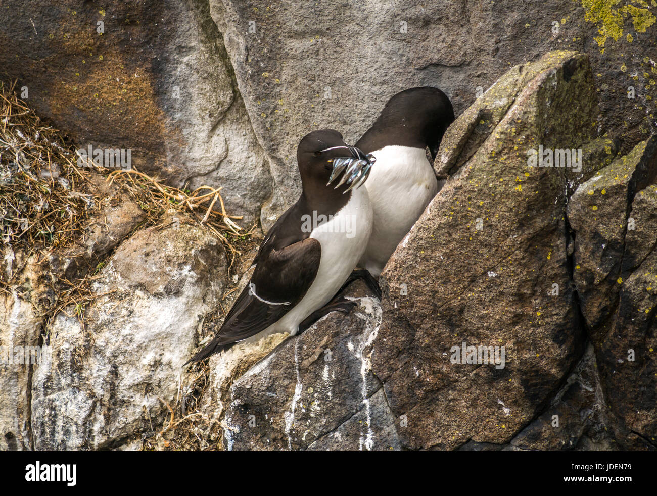 Razorbill pair, Alca Torda, nesting on cliff ledge protective of chick, one with sand eels in beak, Isle of Ma, Stock Photo