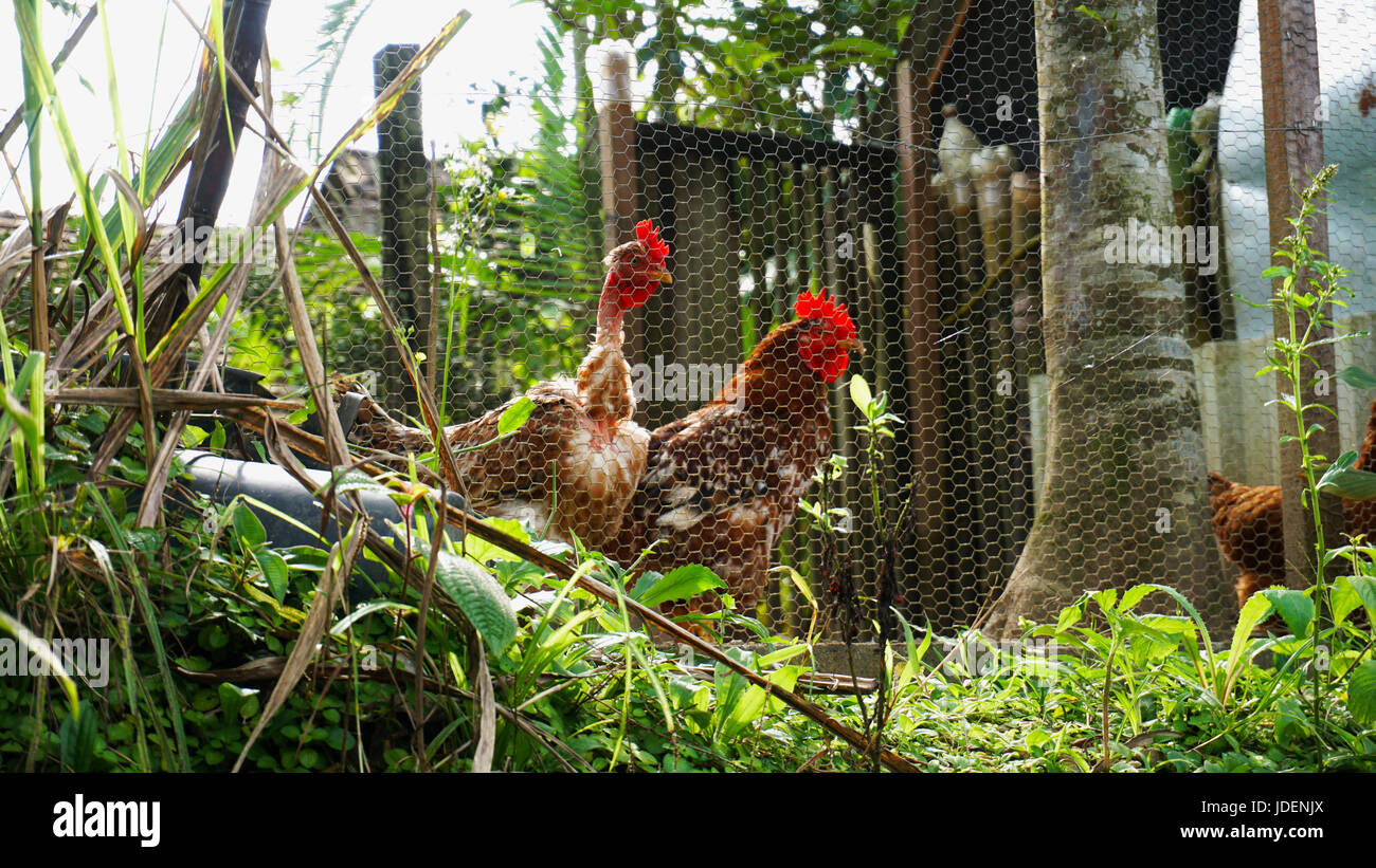 Two Tuned Hens - Stock Image
