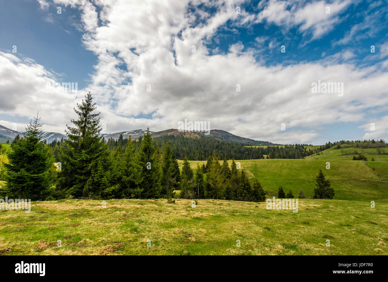 Conifer forest on a hill on a bright sunny day. blue sky with clouds in summer countryside landscape - Stock Image