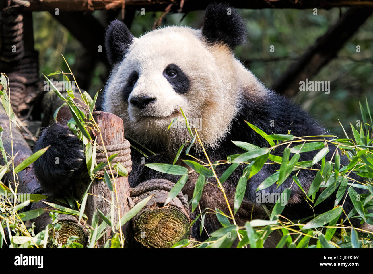 Adult Giant Panda eating bamboo at the Chengdu Research Base of Giant Panda Breeding, Chengdu, China - Stock Image