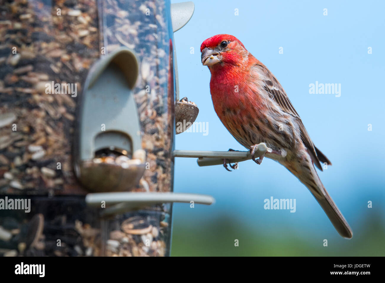 Beautiful male House Finch (Haemorhous mexicanus) eats at a backyard bird feeder. - Stock Image