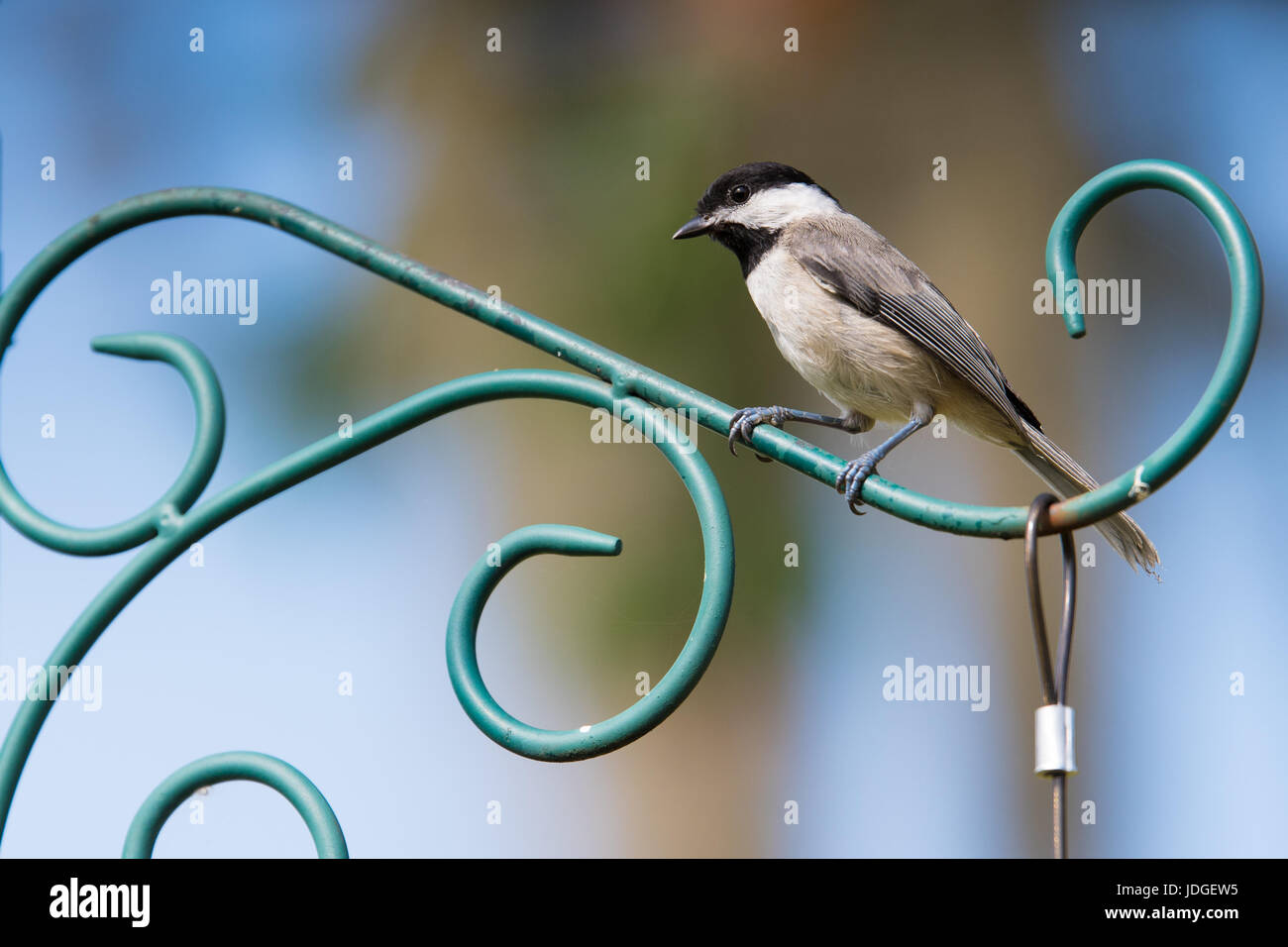 Perching Carolina Chickadee. The Carolina Chickadee is a member of the sparrow family of songbirds. - Stock Image