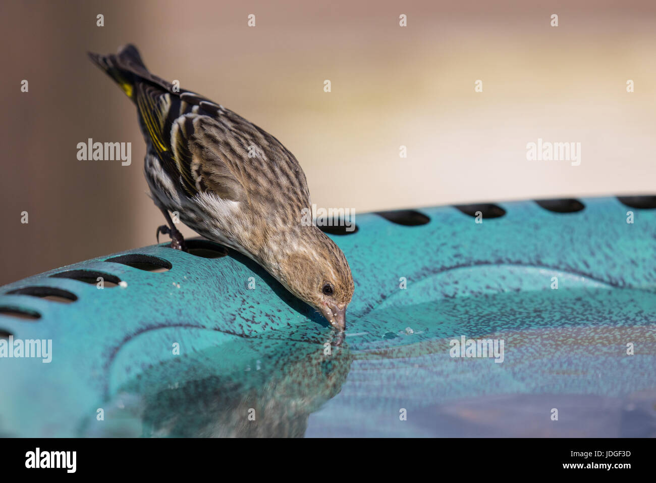 Pine Siskin, a small type of finch, visits a backyard bird bath and drinks from it. - Stock Image