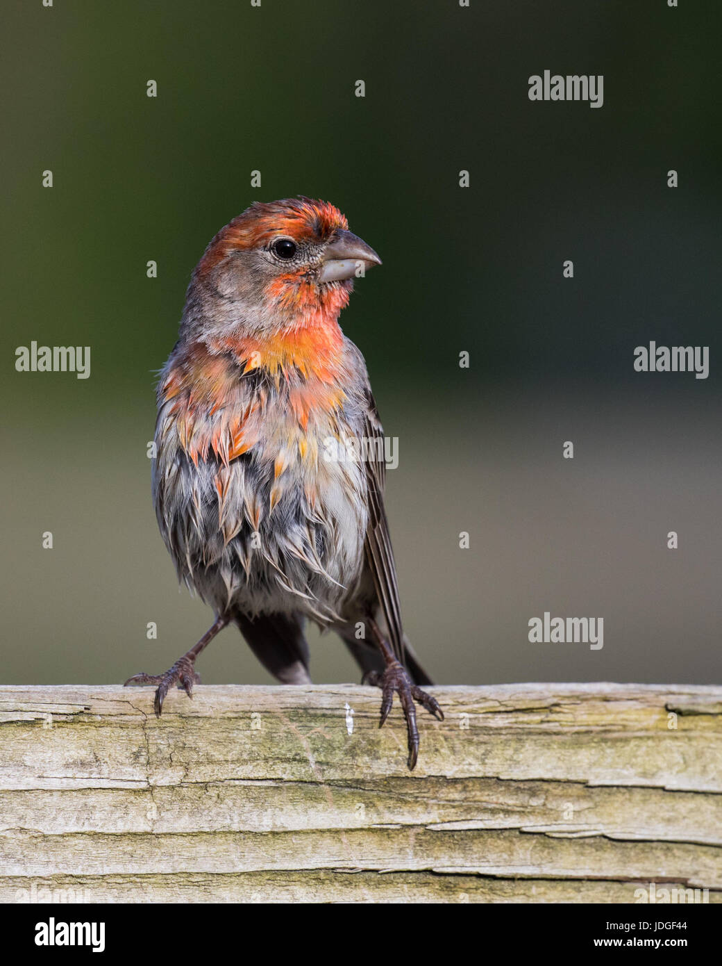 Beautiful, red male House Finch perched on a wooden fence. - Stock Image