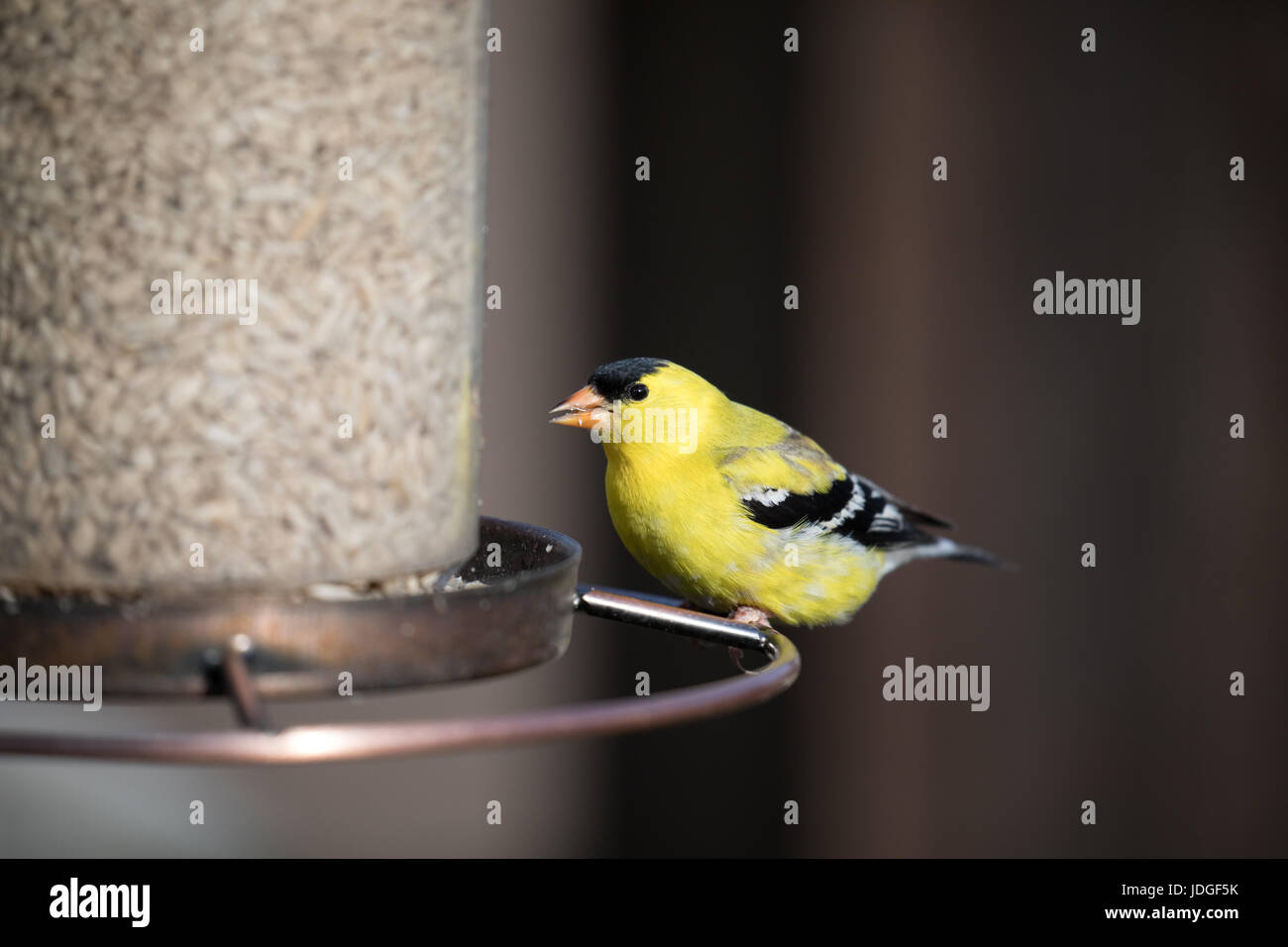 A male American Goldfinch feeds at a backyard bird feeder. - Stock Image