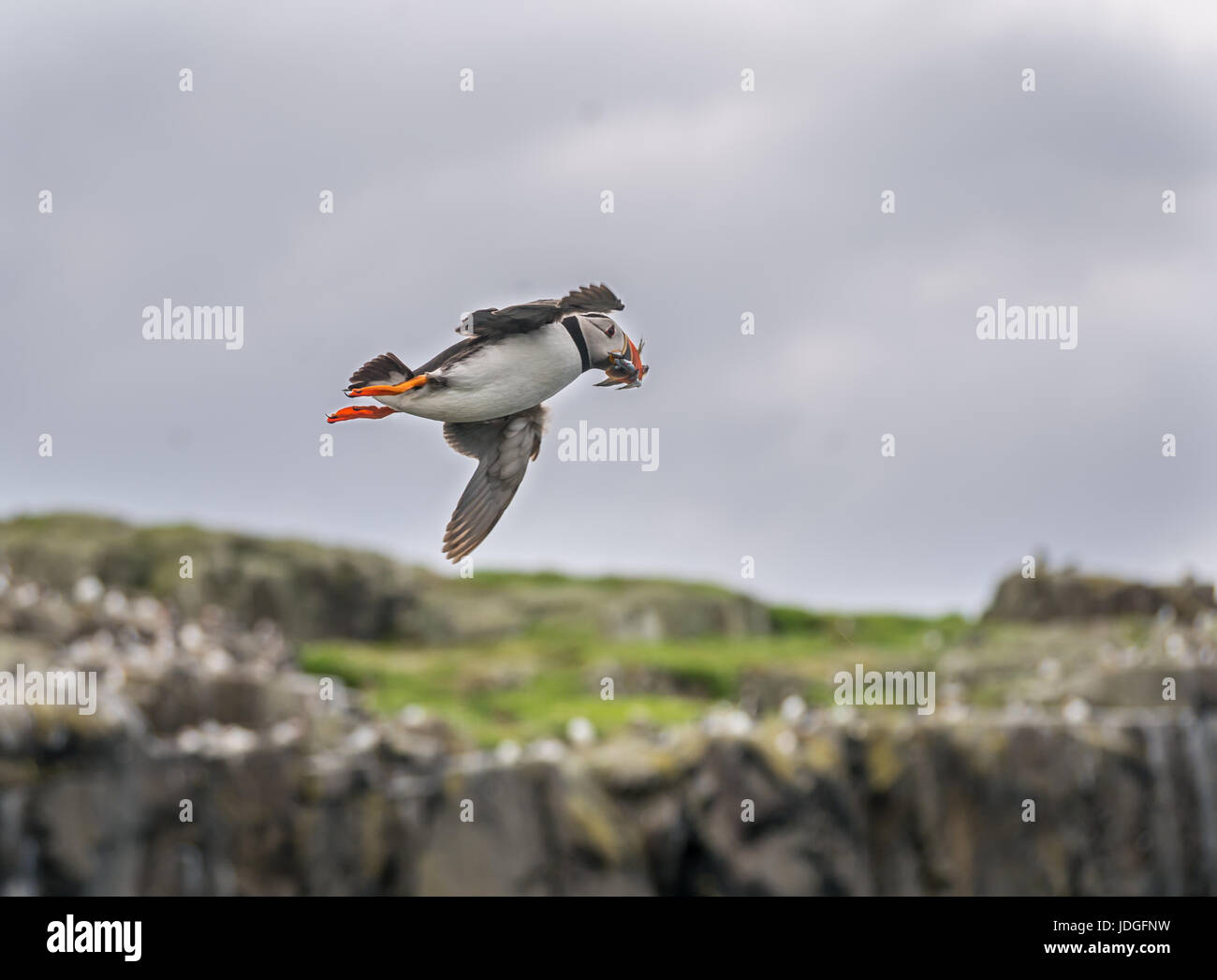 Puffin, Fratercula arctica, flying with sand eels in beak, Isle of May, Scotland, UK Stock Photo