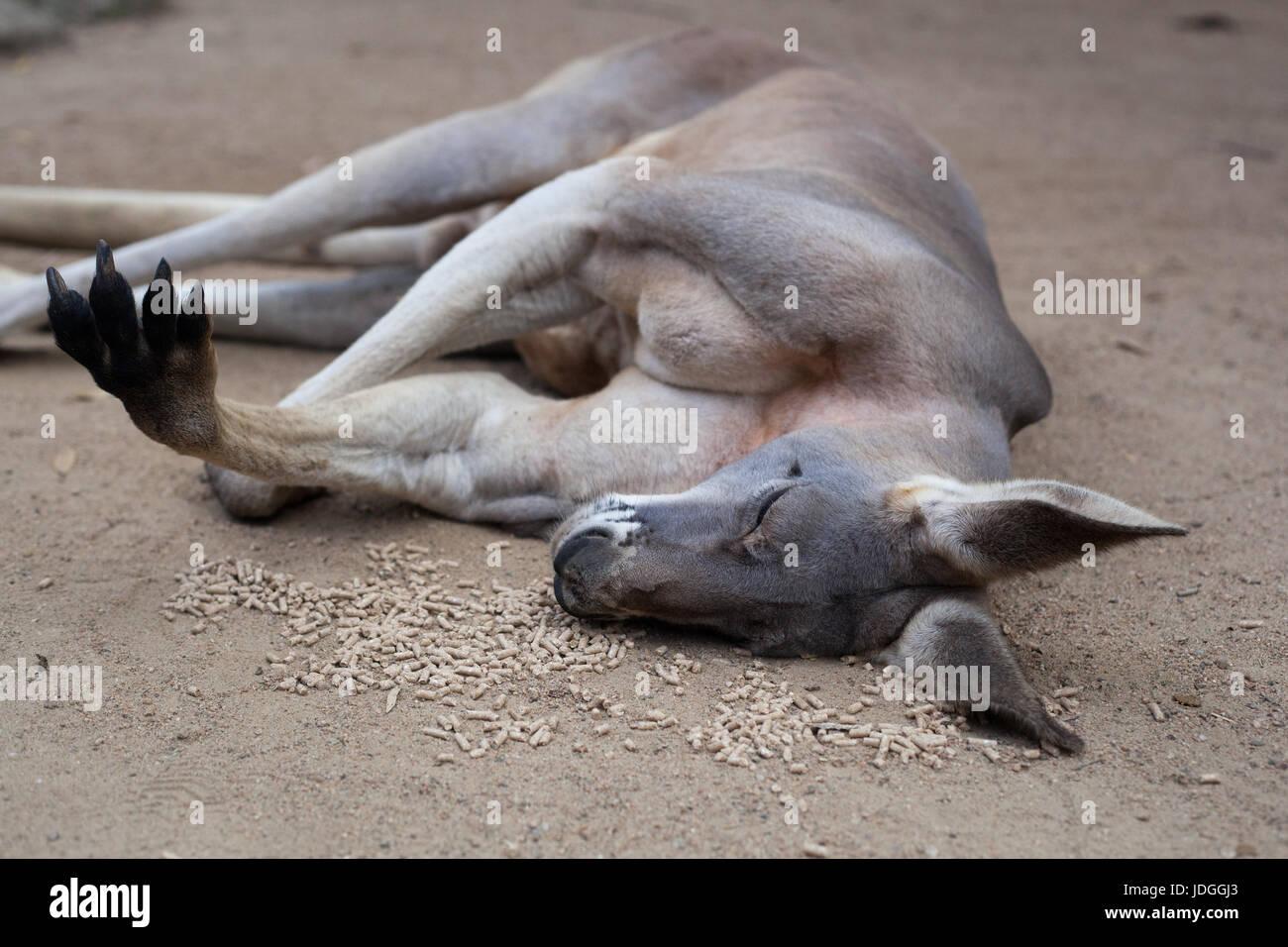 Red kangaroo sleeping on a pile of food in Currumbin Wildlife Sanctuary, Australia - Stock Image