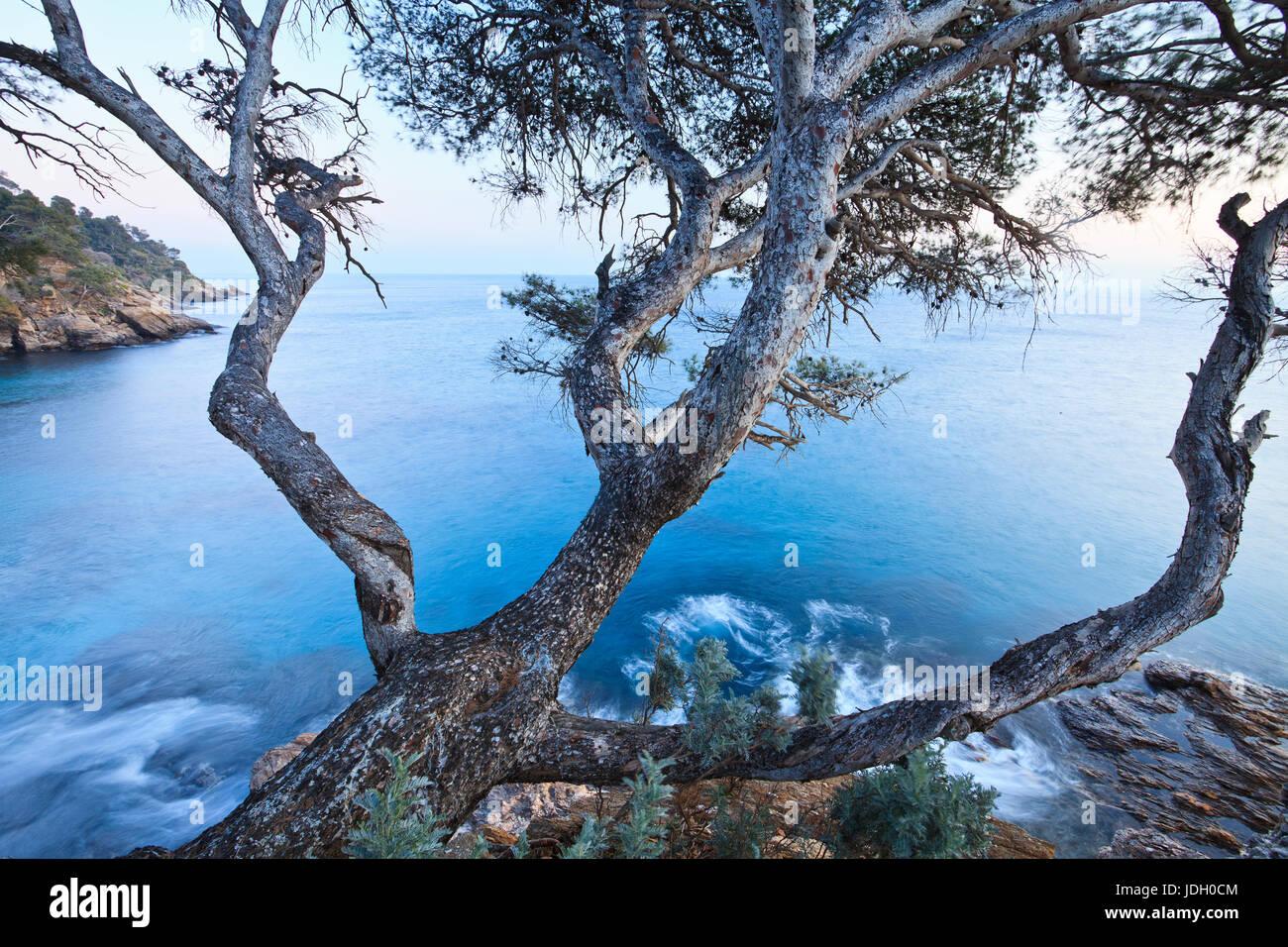 France, Var (83), Le Rayol-Canadel-sur-Mer, Domaine du Rayol, à la pointe du Figuier, pin d'Alep (Pinus - Stock Image