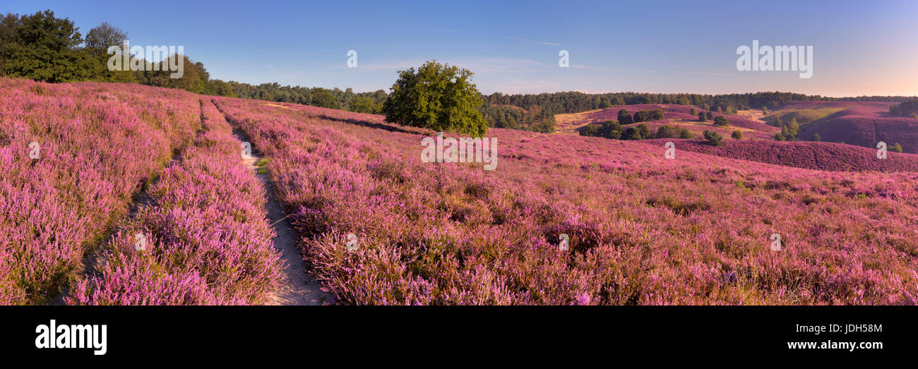 A path through endless hills with blooming heather. Photographed at the Posbank in The Netherlands. - Stock Image