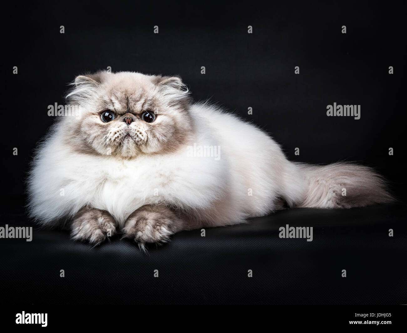 Tabby point Persian cat laying isolated on black background - Stock Image