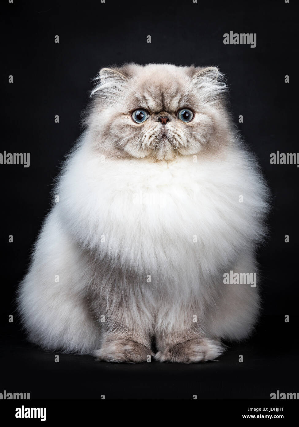Tabby point Persian cat sitting isolated on black background - Stock Image