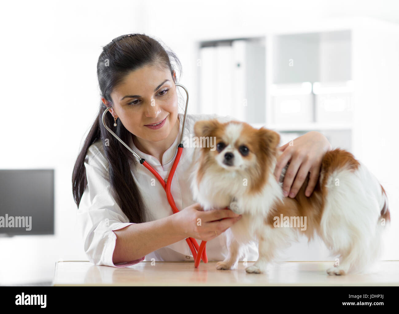 Cute young female veterinarian doctor using stethoscope listening to the heartbeat of a terrier canine dog at the - Stock Image