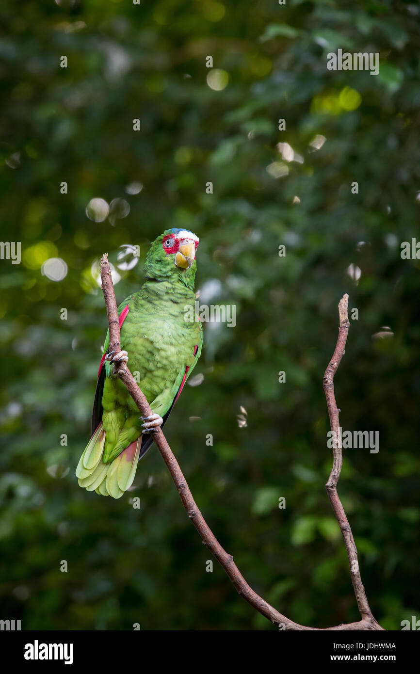 White-fronted Amazon Parrot Sitting in Branch, Mexico - Stock Image