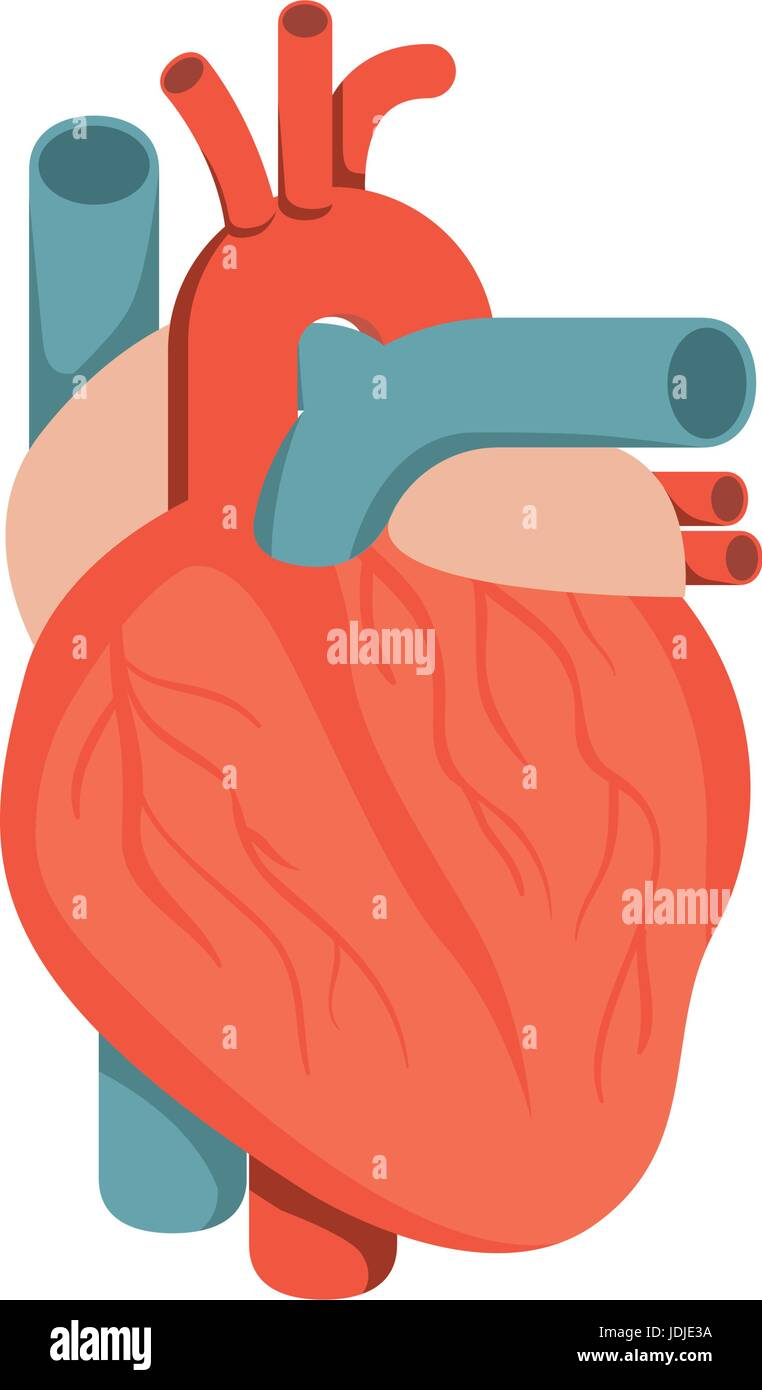 colorful silhouette heart system human body - Stock Image
