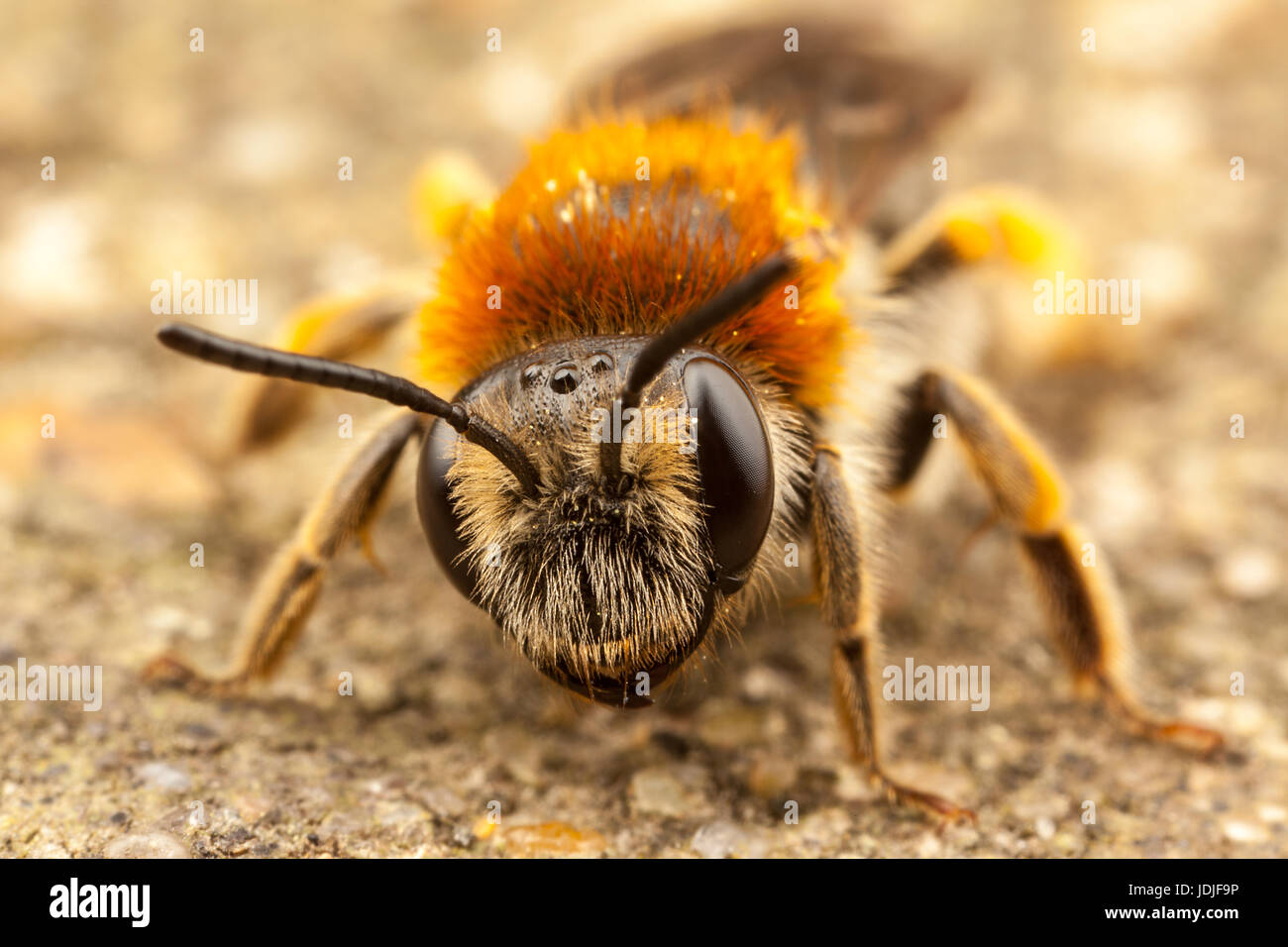 Orange Tailed Mining Bee, Andrena Haemorrhoa - Stock Image