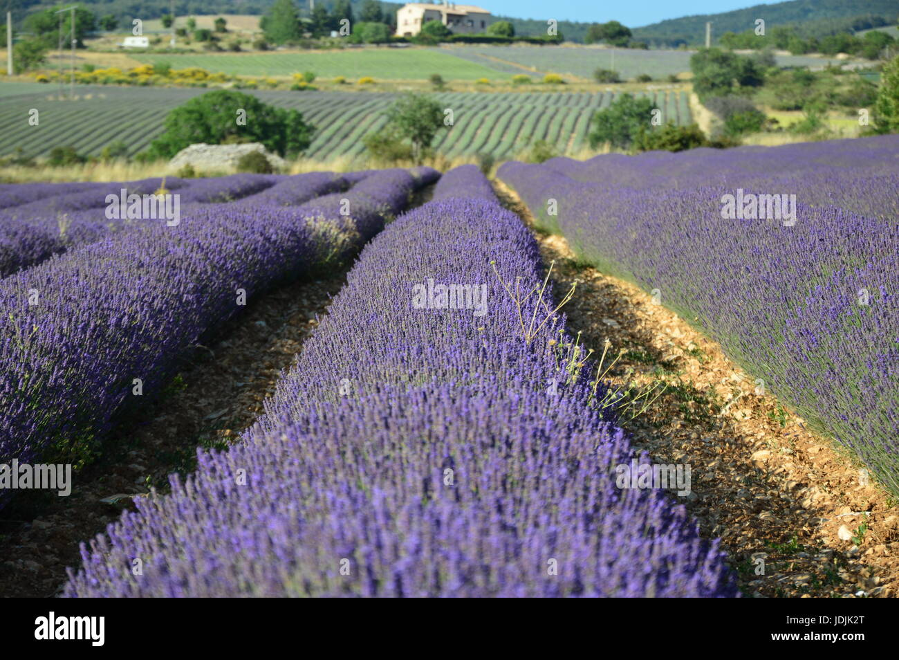Lavenders in Provence - Stock Image
