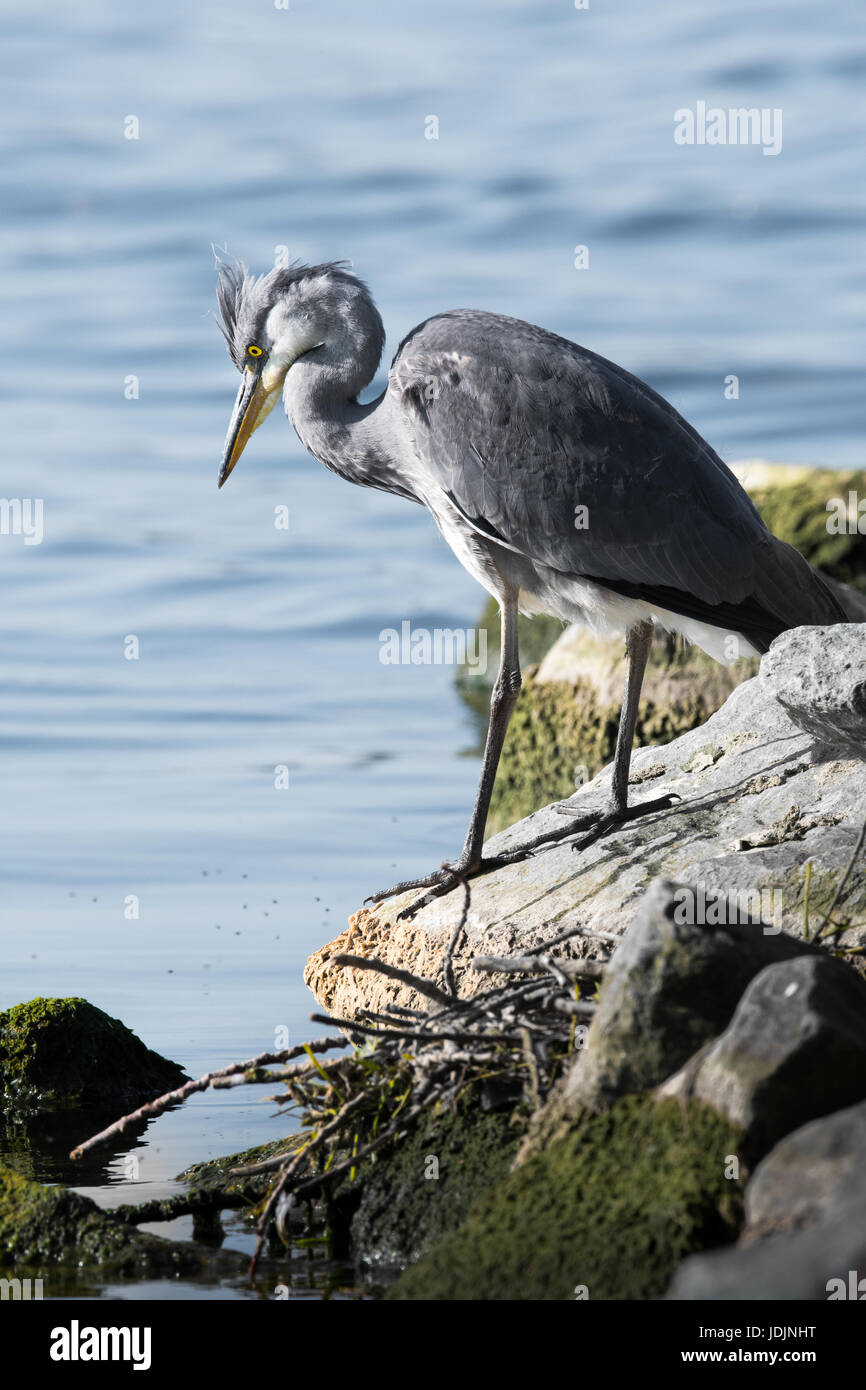 A grey heron standing on the shore of a lake focusses its attention on something in the water. - Stock Image