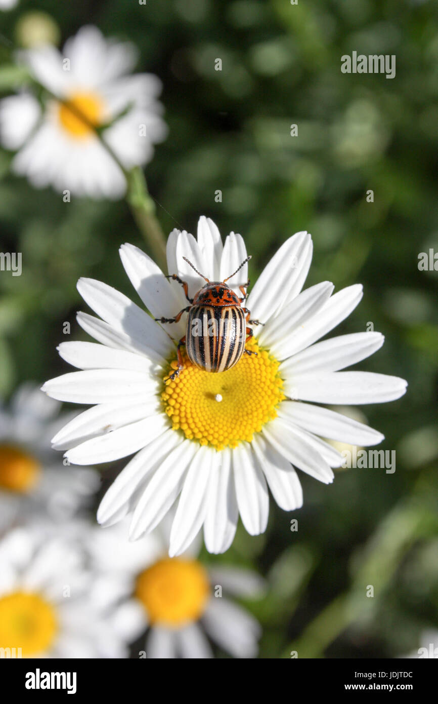Daisies with yellow cores. On a background of green grass. Vertical orientation. Photo for your design - Stock Image
