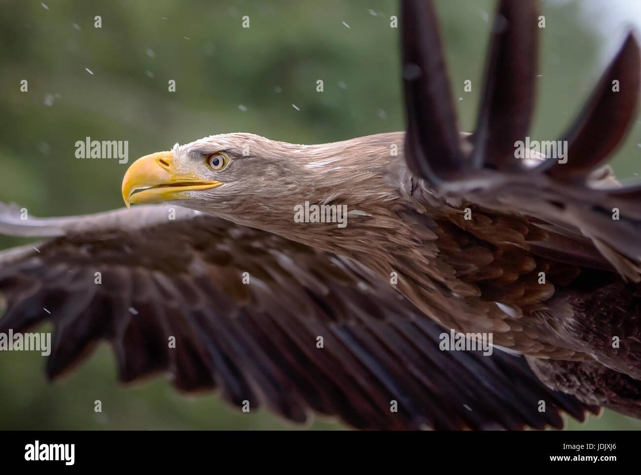 A White Tailed Sea Eagle in Flight Stock Photo
