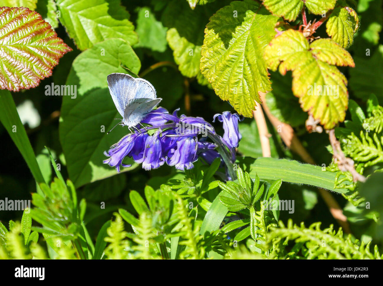A Holly Blue butterfly (Celastrina argiolus) on an English Bluebell (Hyacinthoides non-scripta) flower - Stock Image