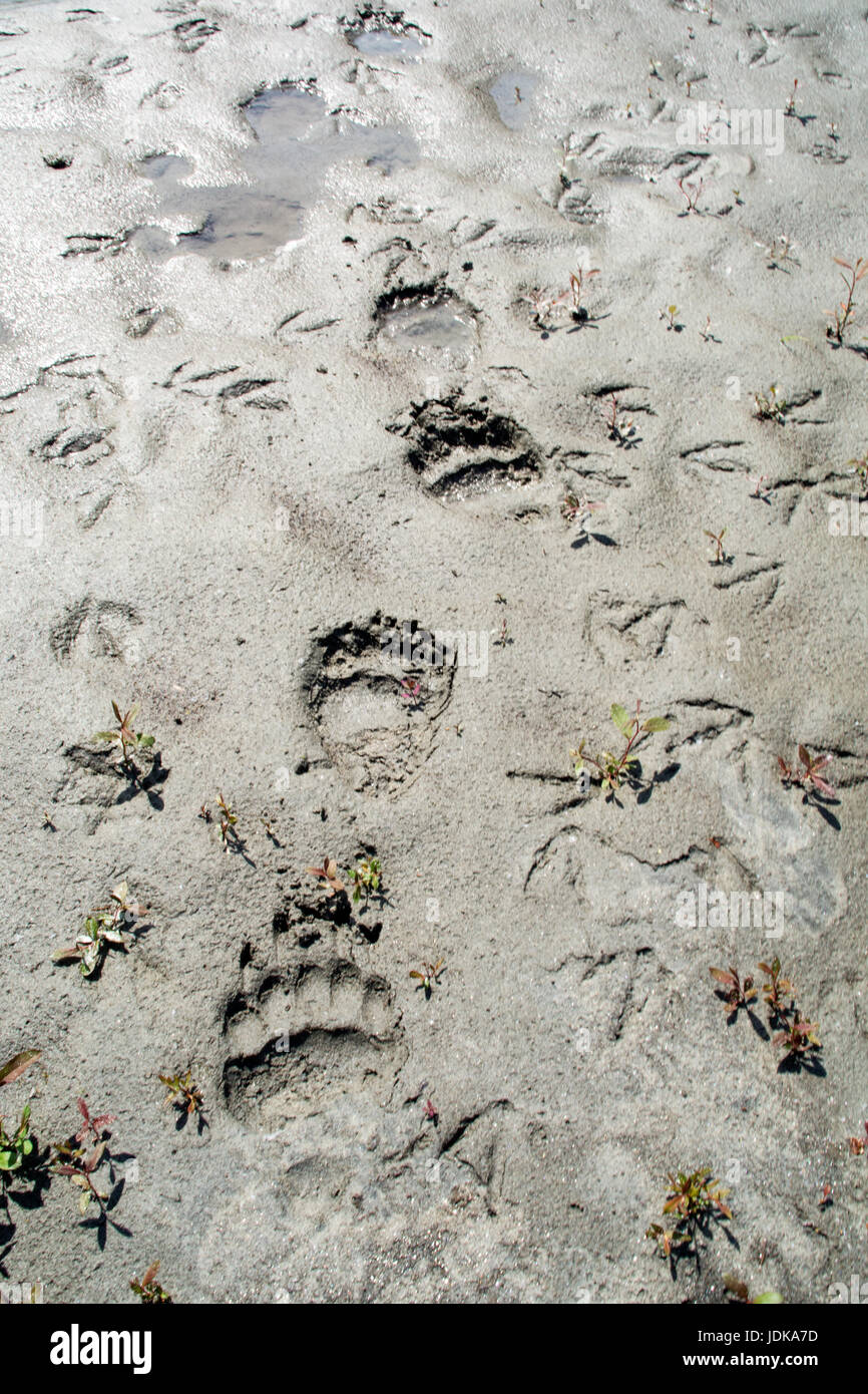 Grizzly bear tracks in a mudflat in the Great Bear Rainforest region of British Columbia, Canada. - Stock Image