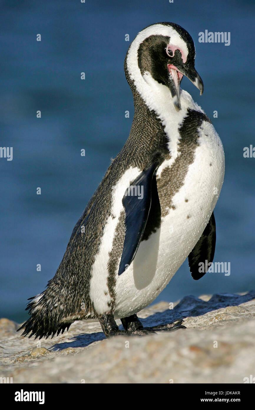 Glasses penguins on the beach - Africa, Brillenpinguine am Strand - Afrika Stock Photo