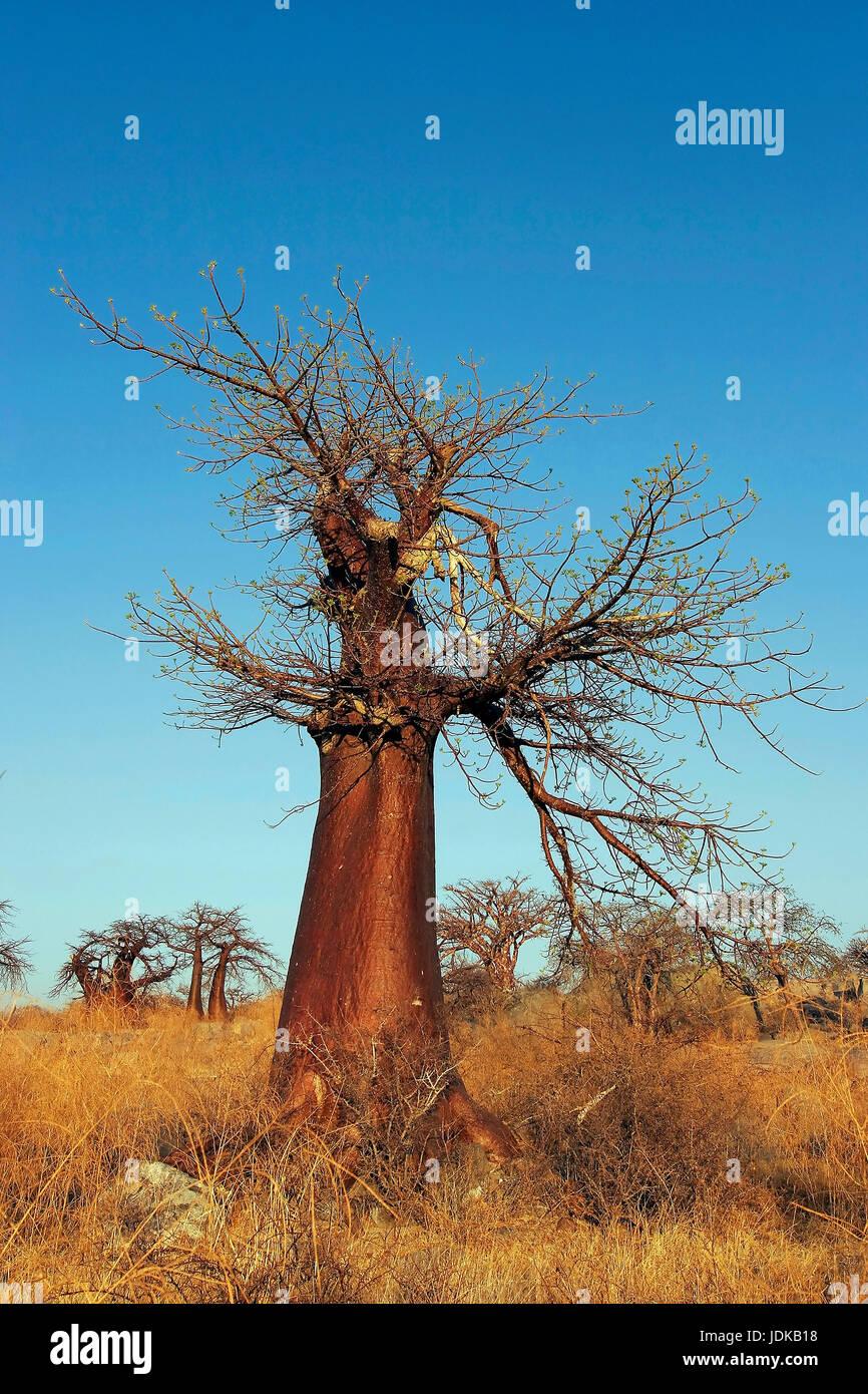 Baobab / baobab, Baobab / Affenbrotbaum - Stock Image