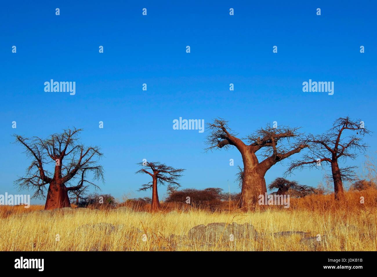 Baobab / Affenbrotb ? ? ume, Baobab / Affenbrotbäume - Stock Image