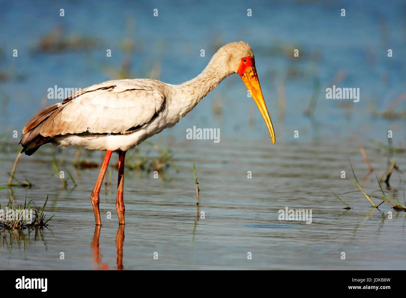 Nimmersatt on food search, Nimmersatt auf Nahrungssuche - Stock Image