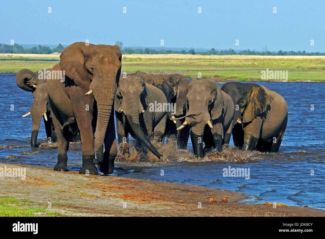 Elephant's cookers in the water hole, Elefantenherde am Wasserloch Stock Photo