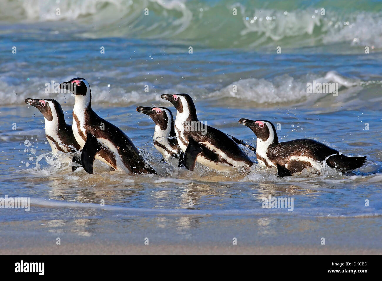 Glasses penguins on the beach - Africa, Brillenpinguine am Strand - Afrika Stock Photo