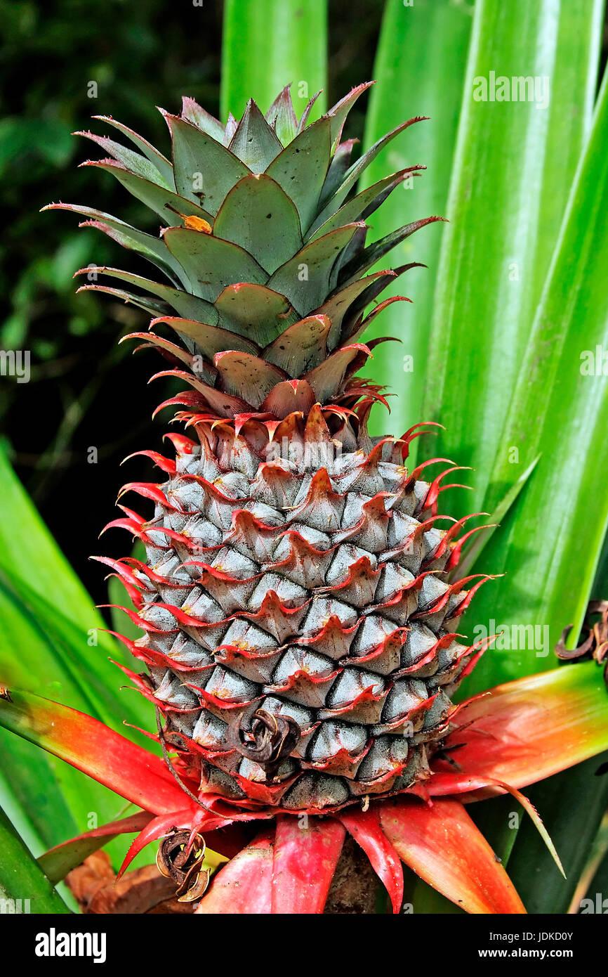 Pineapple, Ananas - Stock Image