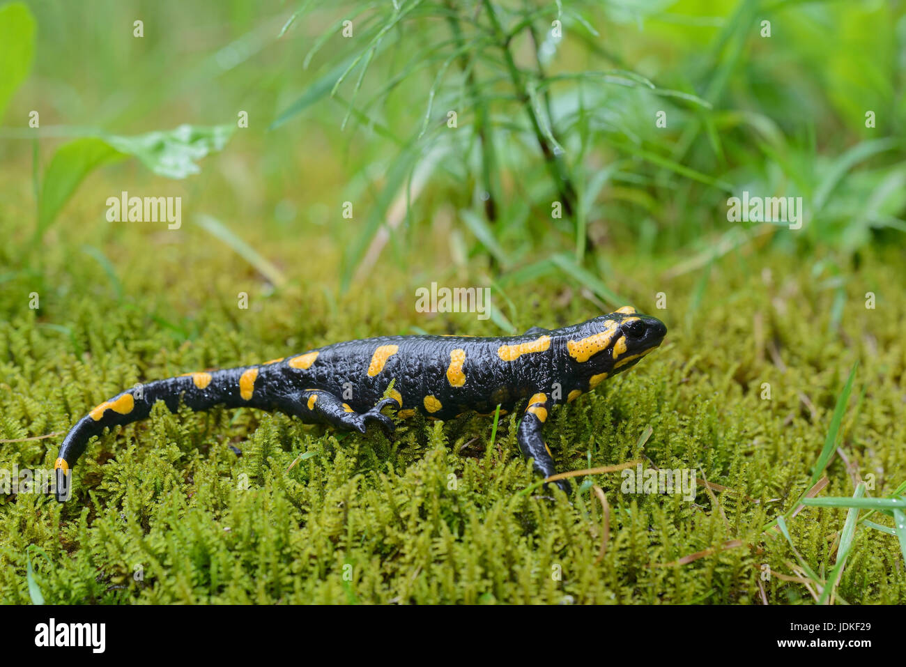 Spotted salamander sits on moss, Feuersalamander sitzt auf Moos - Stock Image