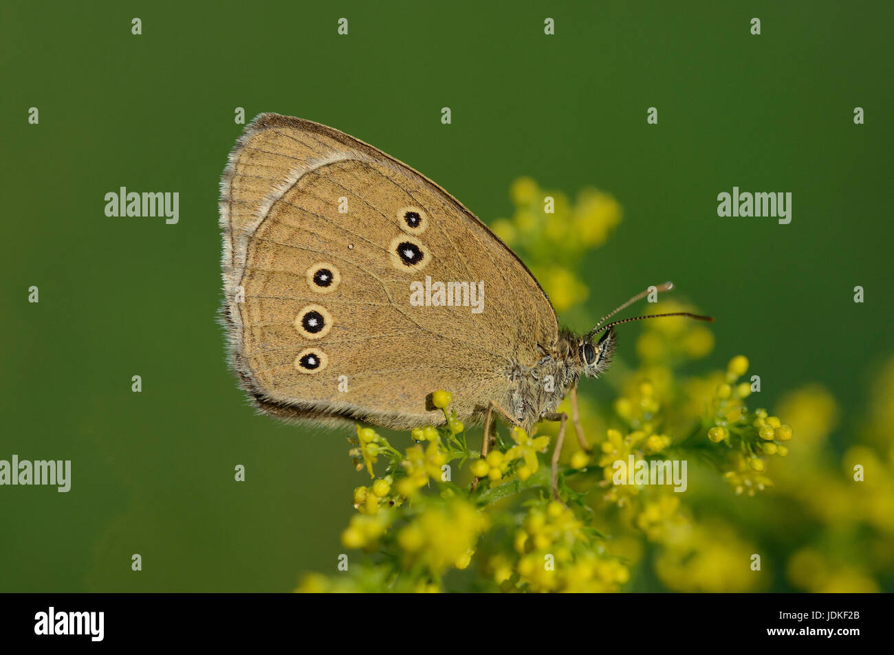 Brown forest bird sits on a yellow flower umbel, Brauner Waldvogel sitzt auf einer gelben Bluetendolde - Stock Image