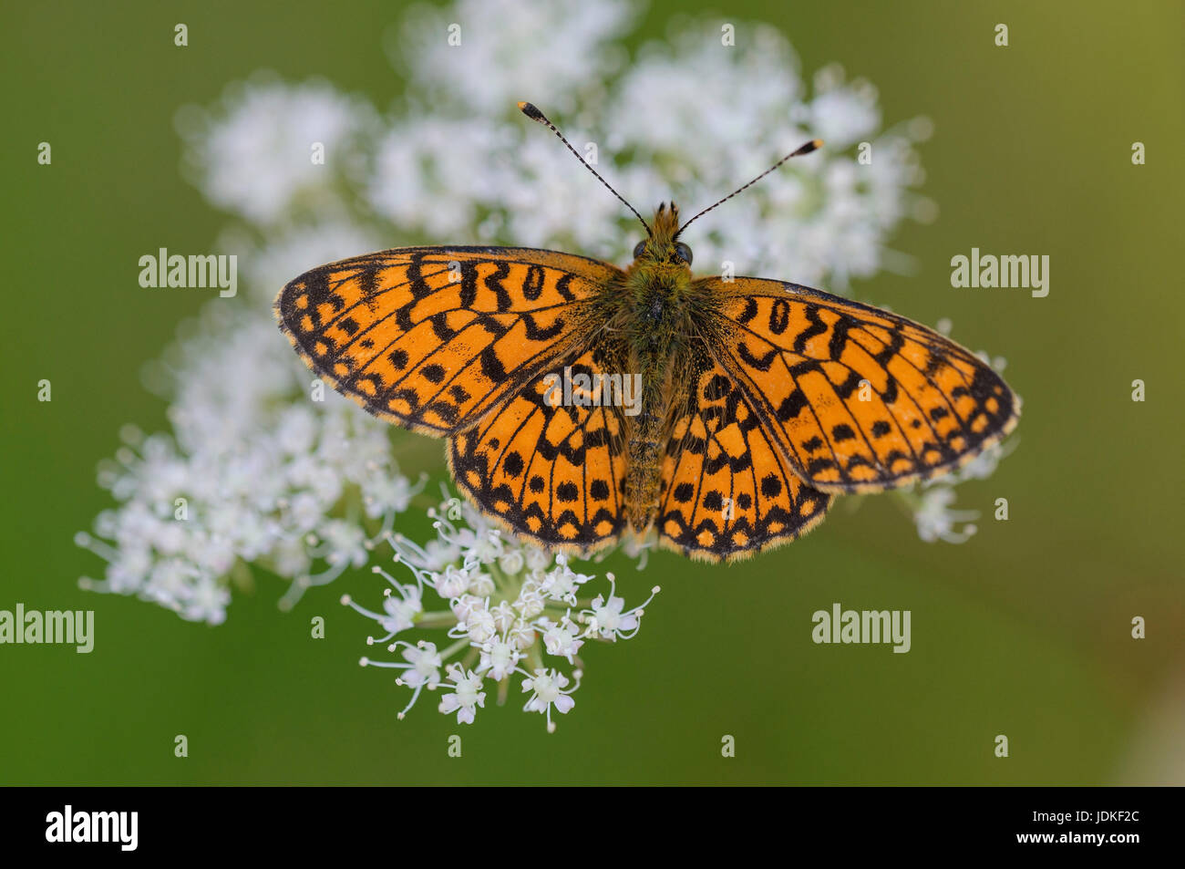 Brown-blotchy mother-of-pearl butterfly sits on a white flower umbel, Braunfleckiger Perlmuttfalter sitzt auf einer - Stock Image