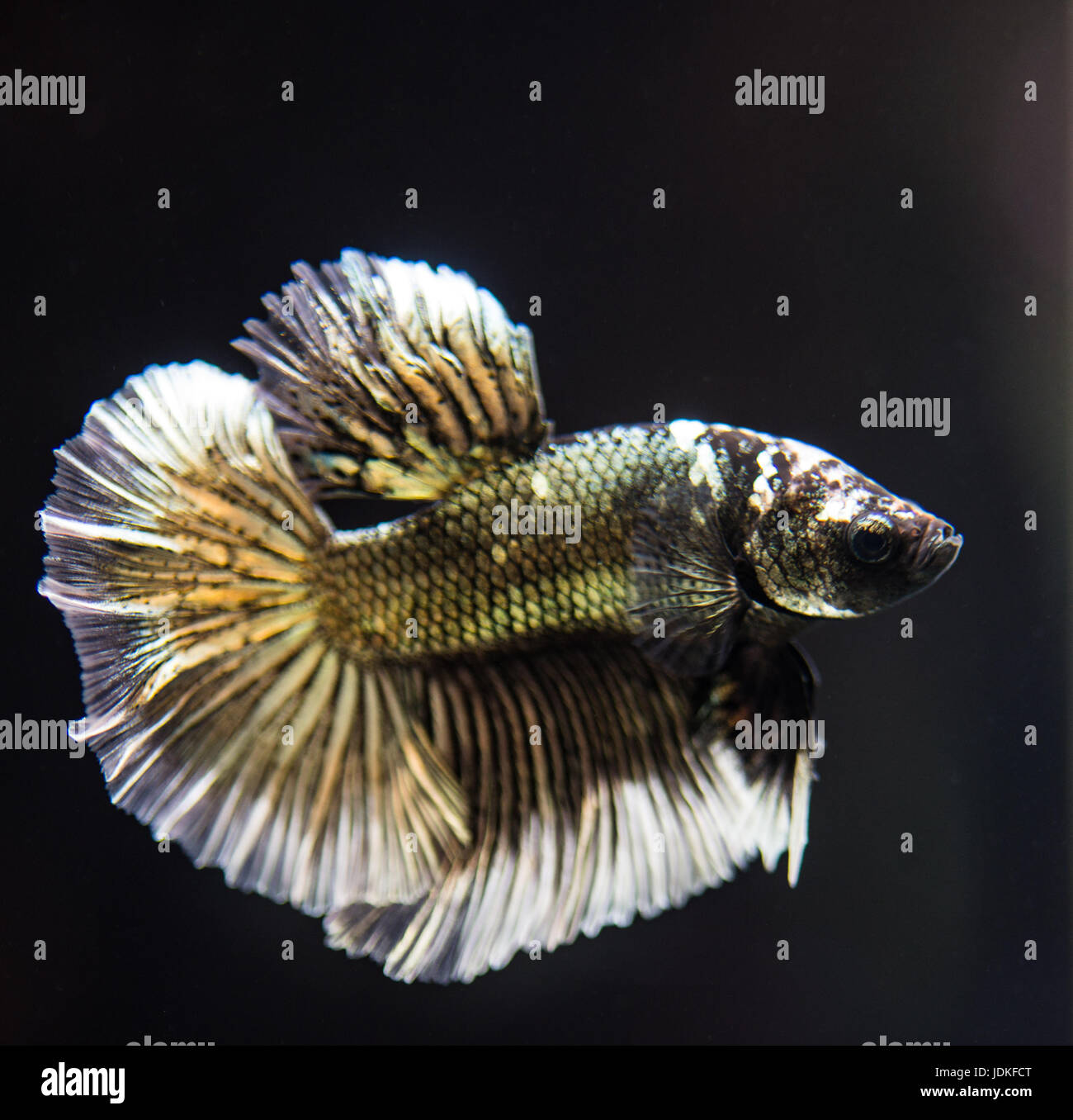 Copper male betta splendens fish Stock Photo