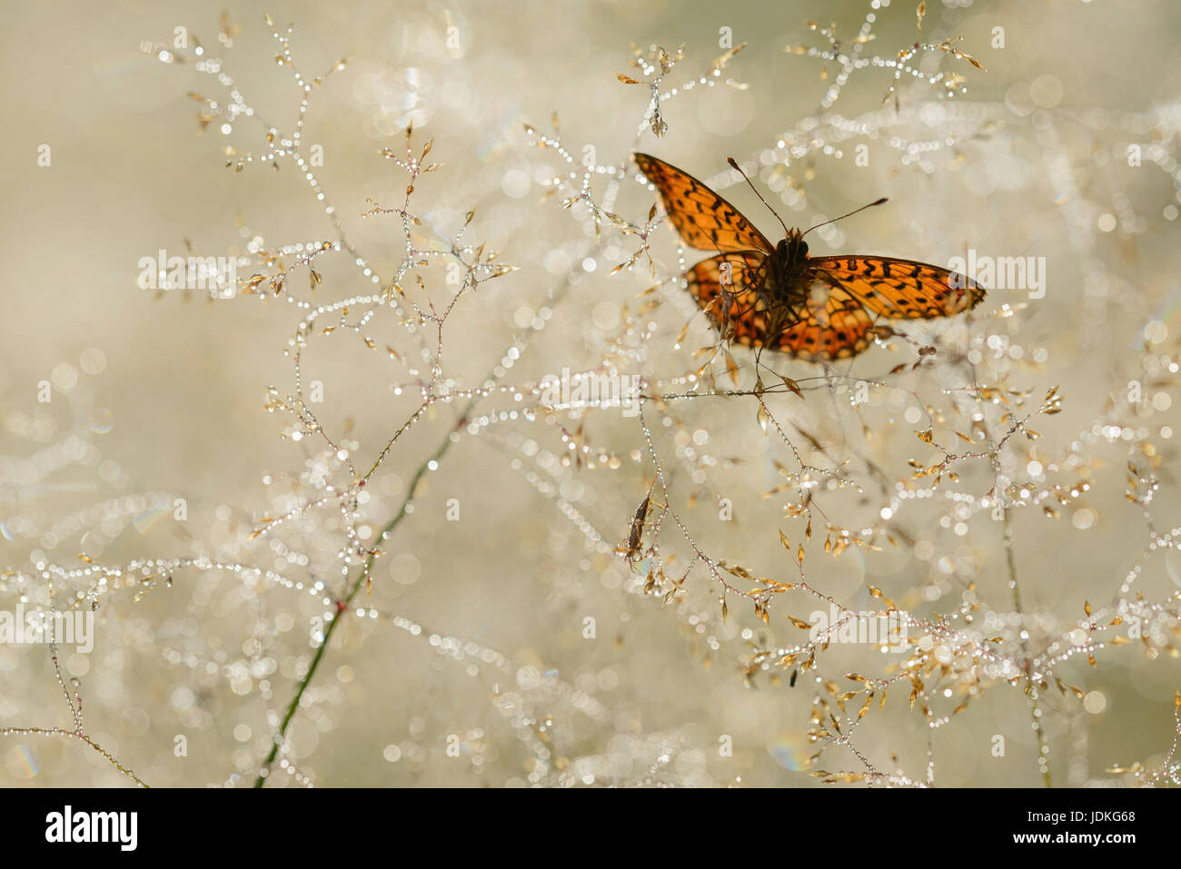 Brown-blotchy mother-of-pearl butterfly sits in grass laden with rope, Braunfleckiger Perlmuttfalter sitzt in taubehangenem - Stock Image
