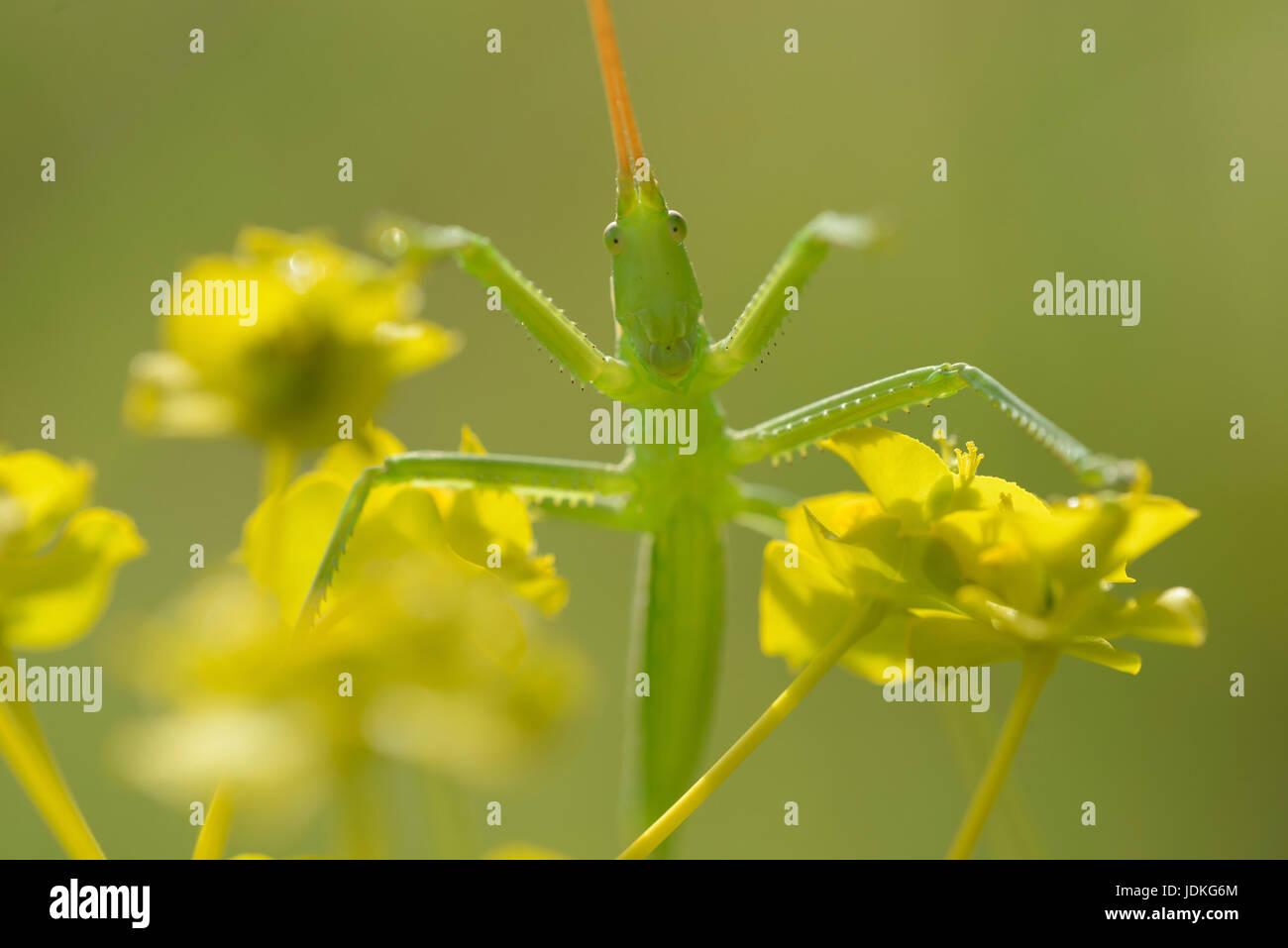 Larva of the big saw frights sits on blossoms, Larve der Großen Sägeschrecke sitzt auf Blüten - Stock Image