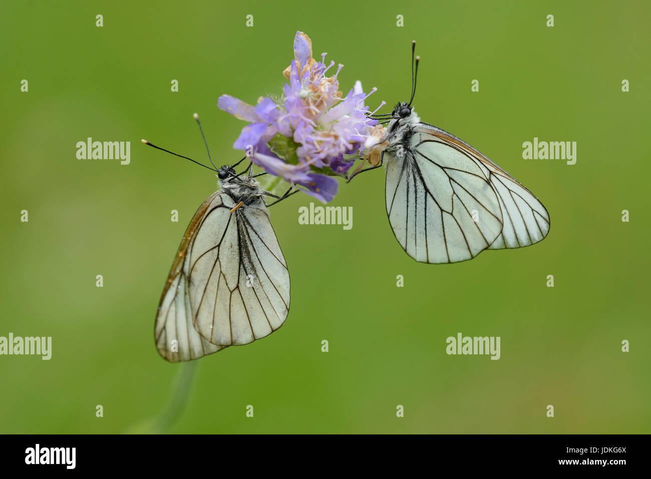 Two Baum-Wei?linge sit in a blossom, Zwei Baum-Weißlinge sitzen an einer Blüte - Stock Image