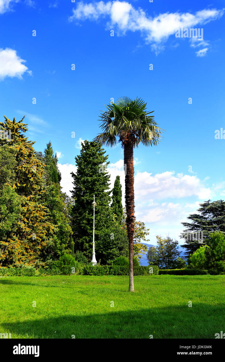 Palm tree on a background of cypress trees in the subtropical park - Stock Image