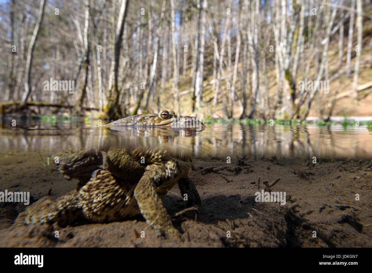 Earth toads pair in the spawn pool, Bufo bufo, Erdkröten Paar im Laichtümpel Stock Photo