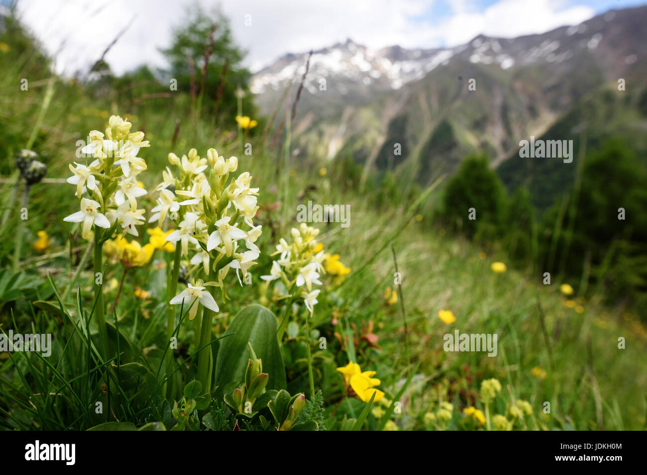 Greenish forest hyacinth on a mountain pasture, Plathanthrea chlorantha,, Grünliche Waldhyazinthe auf einer - Stock Image