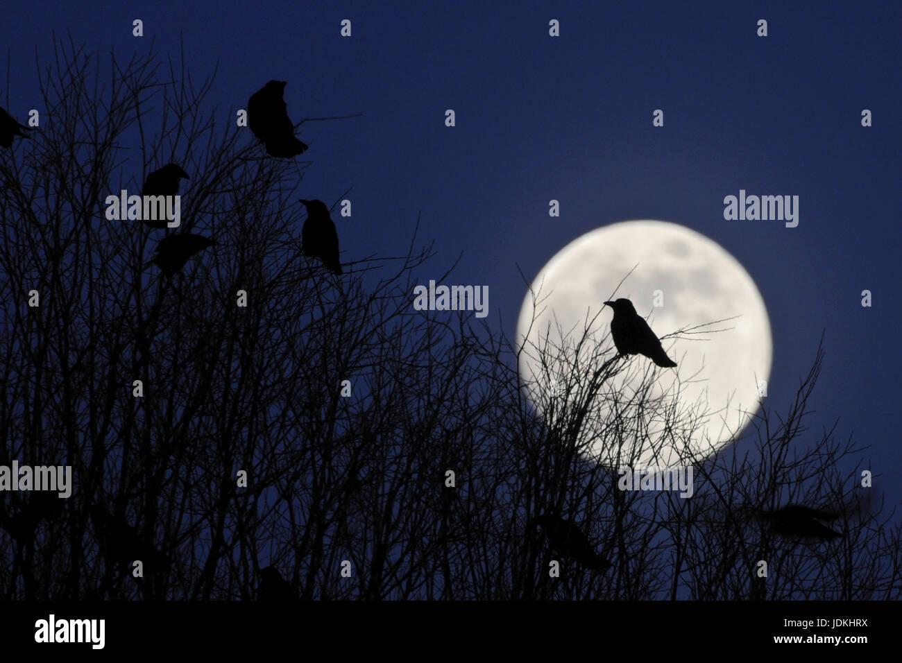 'Animal; animals; bird; birds; crow; rook; silhouette; full moon; night admission; cemetery; Rook; Corvus frugilegus', - Stock Image
