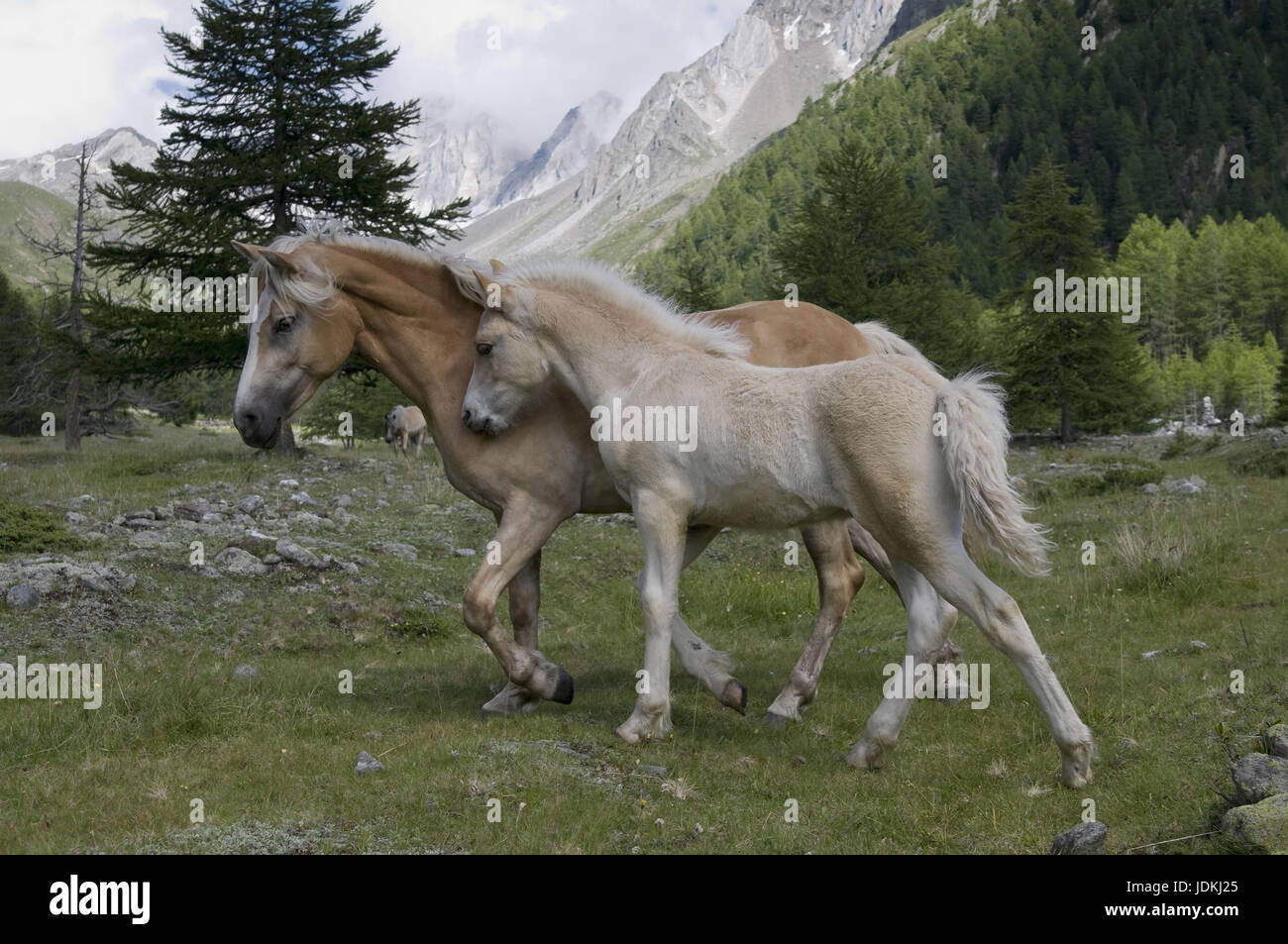 Haflinger horse with foal, Haflinger horse and foal, Haflinger Pferd mit Fohlen,  Haflinger horse and foal - Stock Image