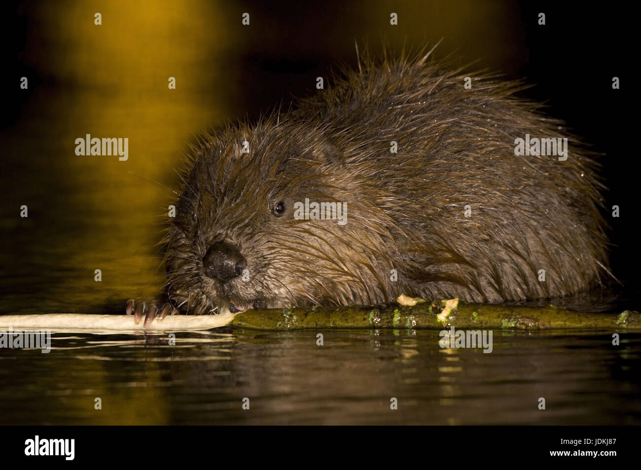 Beavers, Castoridae, rodents, Rodentia, mammals Stock Photo