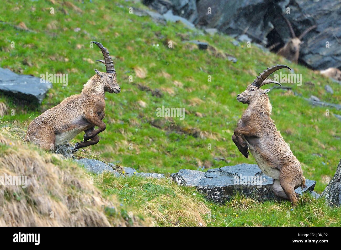 Steinbock, Capra ibex, ibex - Stock Image