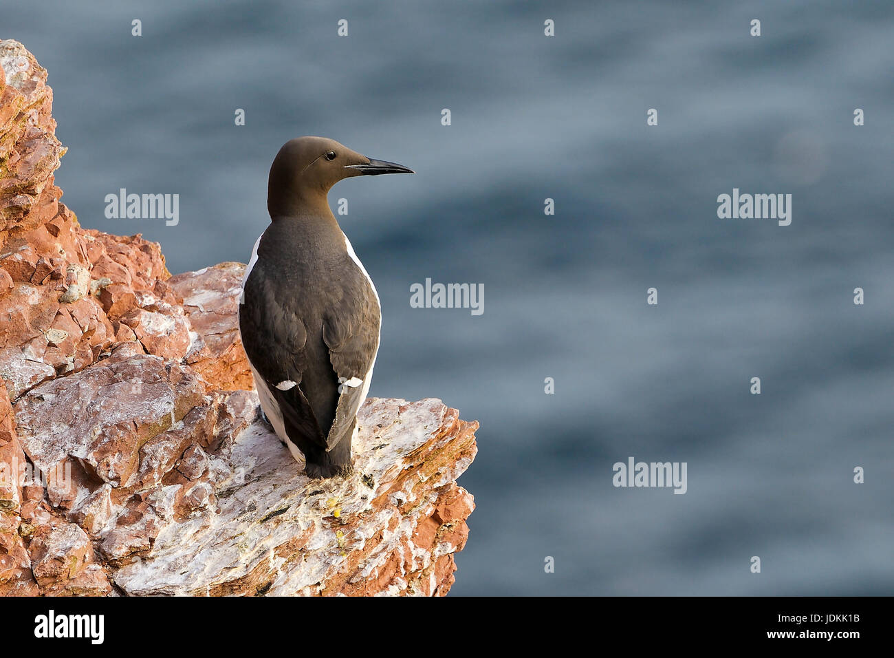 Trottellumme / Uria aalge / Common Guillemot - Stock Image