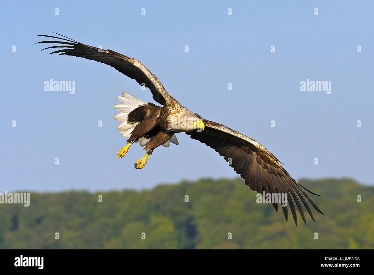 Seeadler / Haliaeetus albicilla / White-tailed Sea Eagle Stock Photo