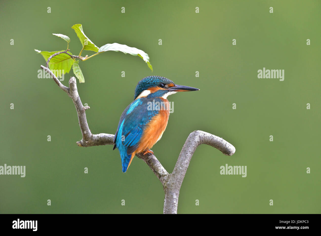 Eisvogel (Alcedo atthis) Common Kingfisher - Stock Image
